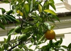 Guadalupe Orange tree 2